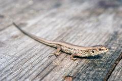 Green and brown lizard (Lacerta viridis, Lacerta agilis) is a species of lizard of the genus Green lizards. Stock Images