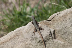 Green and Brown Lizard Looking over Ledge. Overhead shot of Green and Brown Lizard overlooking a rock ledge royalty free stock photo