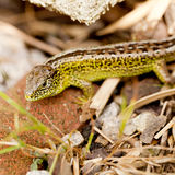 Green and brown lizard macro closeup in nature Royalty Free Stock Photography