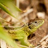 Green and brown lizard macro closeup in nature Royalty Free Stock Photos