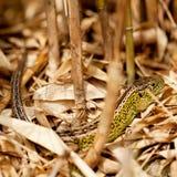 Green and brown lizard macro closeup in nature Stock Photos