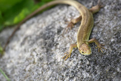 Green and brown lizard Stock Photo