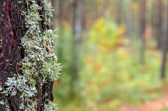 Green brown Moss on the tree bark. Copy space. Green brown Moss on the tree bark. Copy space Stock Photography