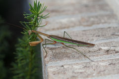 Green and Brown Praying Mantis Stock Photos