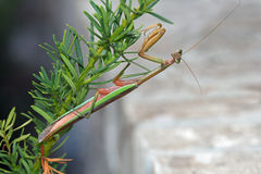 Green and Brown Praying Mantis Royalty Free Stock Image