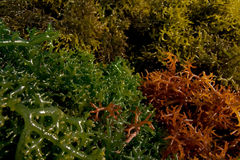 Green, brown and red seaweed. Photo of green, brown and red seaweed Royalty Free Stock Photo