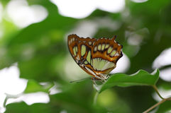 The green with brown stripes butterfly sitting on green leave macro shot Stock Photo