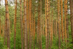 Green brown texture of pine trees in the forest Royalty Free Stock Images
