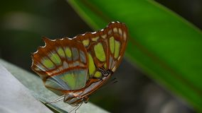 Green and brown tropical butterfly on leaf. Close up side profile portrait of one, beautiful big vivid green and brown tropical rainforest butterfly with folded stock video footage