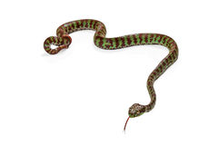 Green and Brown Venomous Viper Snake Royalty Free Stock Photos