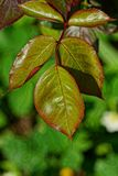 Green brown wet leaves on a branch of a rose bush in the sunlight. In the garden royalty free stock photos