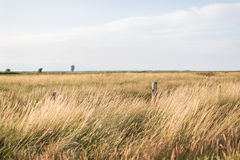 Green and Brown Wheat Field Royalty Free Stock Photo