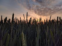 Green and Brown Wheat Grain Field Royalty Free Stock Photos