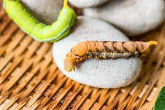 Green and brown worms Royalty Free Stock Photos