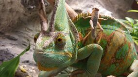 Green Brown and Yellow Cameleon Stock Photos