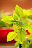Green brunch of basil. Photo of basil growing in home garden Royalty Free Stock Photos