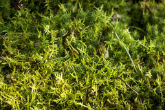 Green bryophyte background. Stock photo Royalty Free Stock Photos