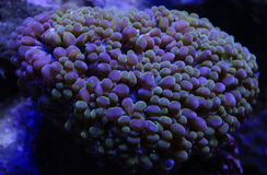 Green Bubble Coral. Detail of a green and purple bubble coral, plerogyra, underwater Royalty Free Stock Photography