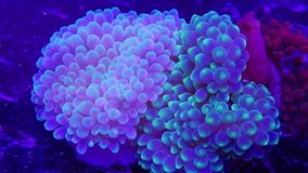 Green bubble tip anemones grouped together in captive aquarium. A small group of bubbletip anemones grouped together in a captive reef aquarium. Slight motion stock footage