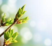 Green Bud Stock Image