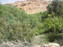 Green bud. Green beautiful bud of abricot tree Stock Image