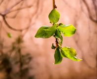 Green bud. Green beautiful bud of abricot tree Stock Images