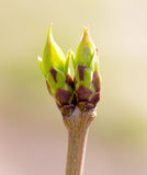 A green bud grows on a tree in the spring.  Royalty Free Stock Photography