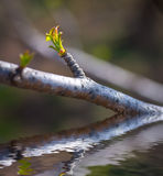 Green bud reflected in water. Royalty Free Stock Photography