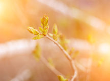 Green bud in spring. Royalty Free Stock Images