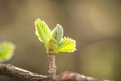Green bud in spring Stock Photo