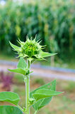 Green bud sunflower Royalty Free Stock Images