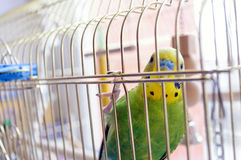 Green Budgerigar in cage Royalty Free Stock Images
