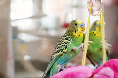 Green Budgerigar  on cage Royalty Free Stock Photography