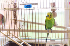 Green budgerigar in a cage at the window. Funny budgie in bigdcage. Stock Photo