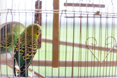 Green budgerigar in a cage at the window. Funny budgie in bigdcage. Stock Photos