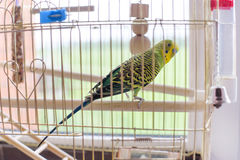 Green budgerigar in a cage at the window. Funny budgie in bigdcage. Royalty Free Stock Images