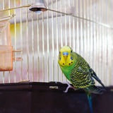 Green Budgerigar (domestic budgie) on cage Stock Photography