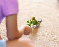 Green Budgerigar (domestic budgie) on floor Stock Photo