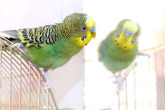 A green Budgerigar. (domestic budgie) and mirror Stock Images