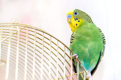 A green Budgerigar. (domestic budgie). Parrot sitting on  birdcage Stock Images