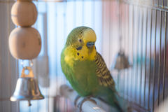 Green budgerigar parrot close up in cage Stock Images