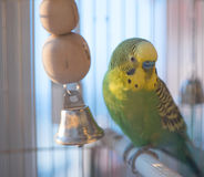 Green budgerigar parrot close up in cage Stock Photo