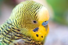 Green budgerigar parrot close up head portrait on blurred  backg. Round. Cute budgy Royalty Free Stock Photos