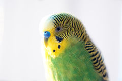 Green budgerigar parrot close up head portrait on blurred background Royalty Free Stock Photos