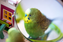 Green budgerigar parrot close up look in the mirror Stock Image