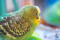 Green budgerigar parrot close up look in the mirror Stock Images
