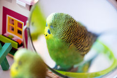 Green budgerigar parrot close up look in the mirror Royalty Free Stock Photography