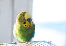 Green budgerigar parrot close up portrait on blurred background Royalty Free Stock Photos