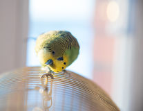 Green budgerigar parrot close up portrait on blurred background Stock Photo
