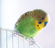 Green budgerigar parrot close up sits on cage Royalty Free Stock Images